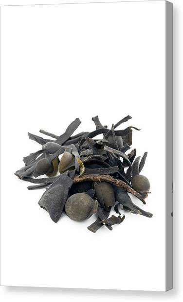 Knockout Canvas Print - Bladderwrack Herb by Geoff Kidd/science Photo Library