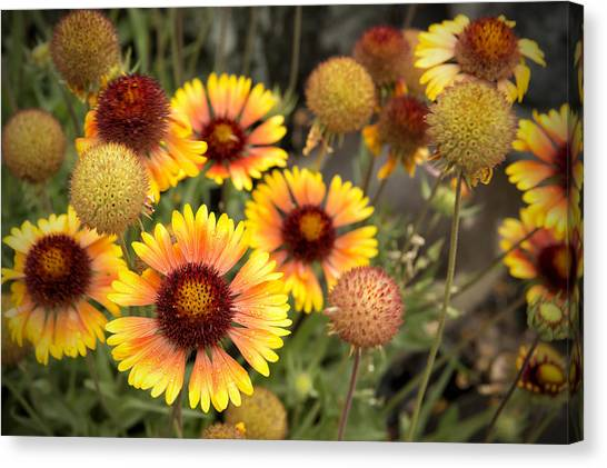 Canvas Print featuring the photograph Blanket Flowers  by Belinda Greb