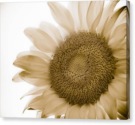 Bleached Sunflower Canvas Print