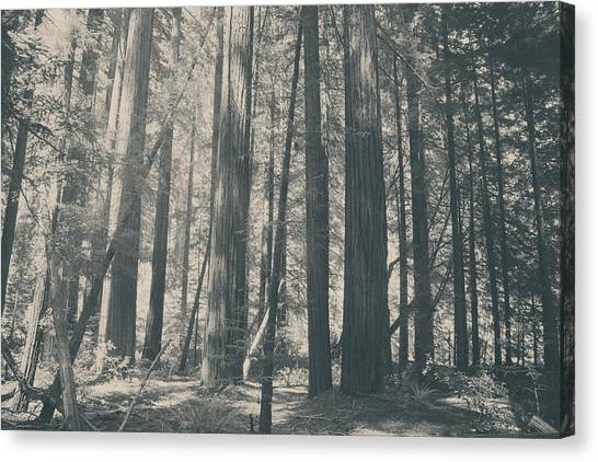 Redwood Forest Canvas Print - Blessings by Laurie Search