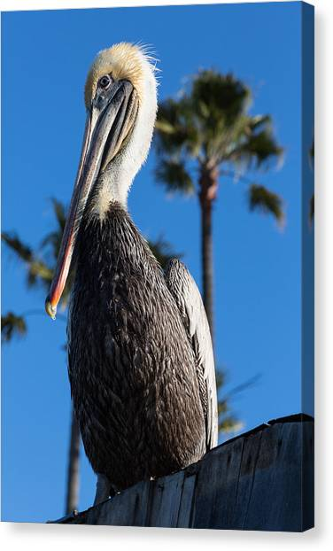 Blond Pelican Canvas Print
