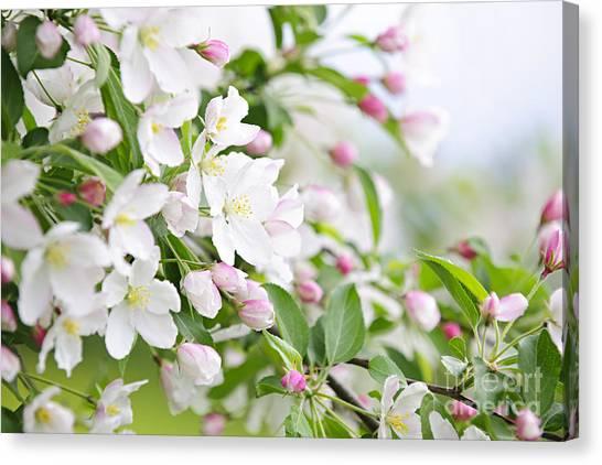 Apple Tree Canvas Print - Blooming Apple Tree by Elena Elisseeva