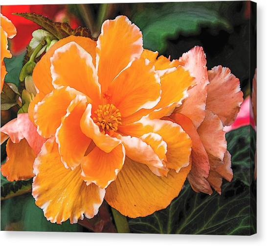 Blooming Begonia Image 1 Canvas Print