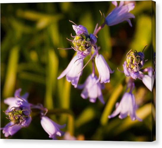 Blooming Bluebells Canvas Print