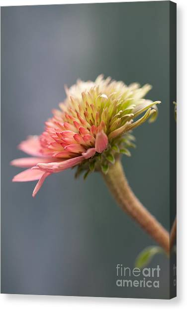 Blooming Coneflower Canvas Print by Annette Cohen