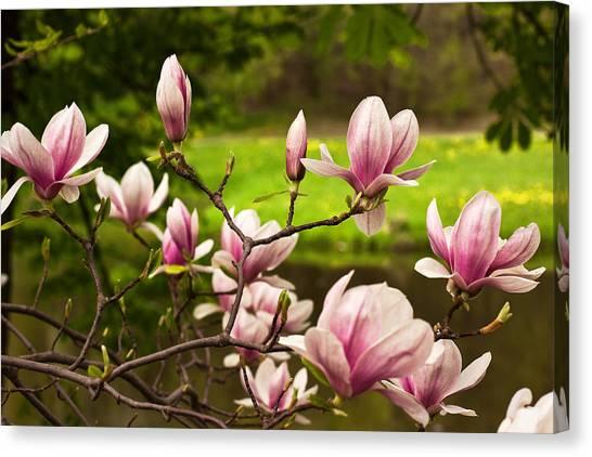 Blooming Magnolia Tree Canvas Print