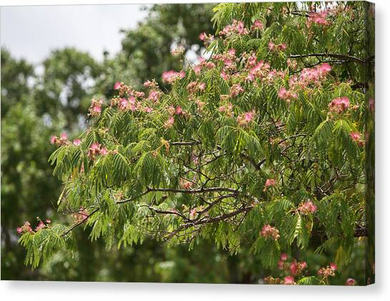 Mimosa Canvas Print - Blooming Mimosatree by Linda Phelps