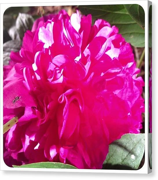 Gardens Canvas Print - Blooming Today. #peony #flower #bloom by Teresa Mucha