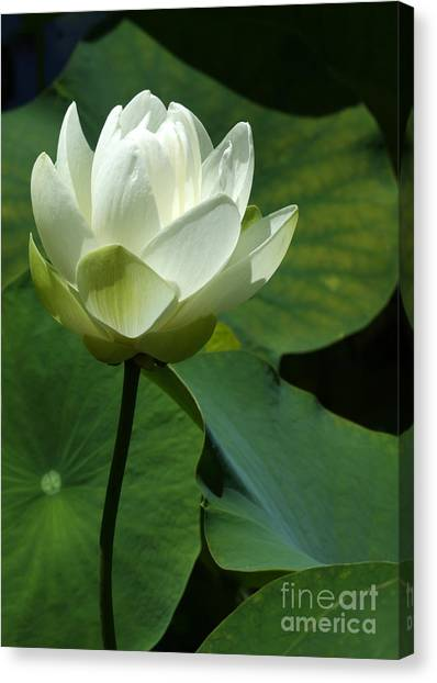 Blooming White Lotus Canvas Print