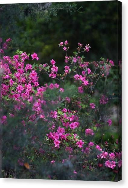 Blooms Of Pink Canvas Print by Lezlie Faunce