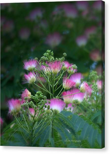 Blooms Of The Mimosa Tree Canvas Print