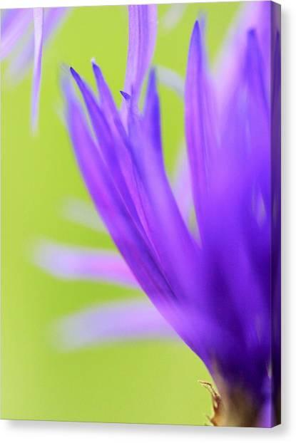 Blossom Macro Canvas Print by Kim Thompson
