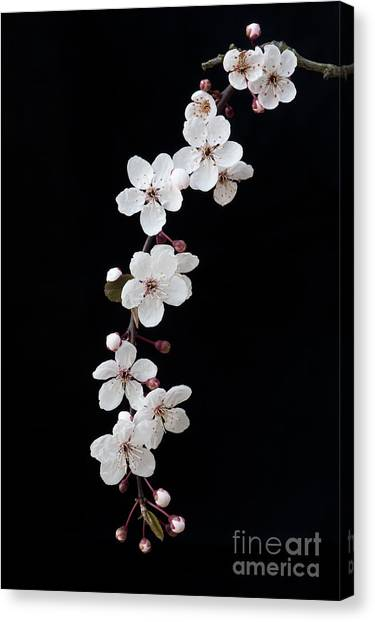 Fruit Trees Canvas Print - Blossom On Black by Tim Gainey