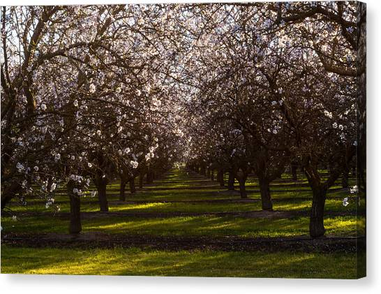 Canvas Print featuring the photograph Blossom Tunnel  by Priya Ghose