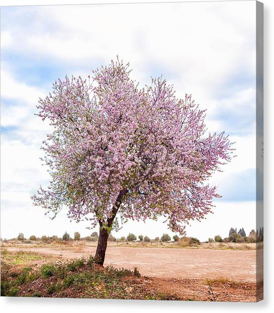 Blossoming Pink Almond Tree Prunus Canvas Print by Maika 777