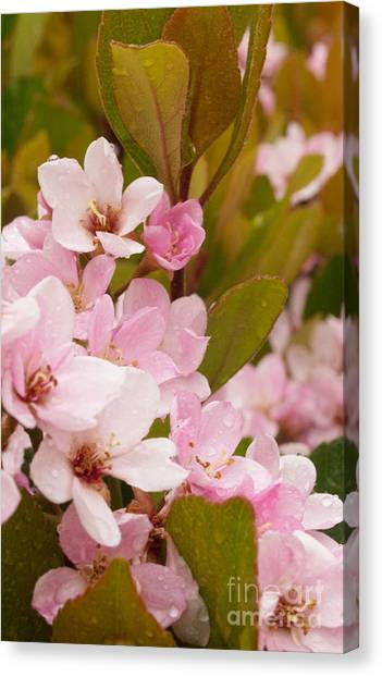 Blossoms Of The Rain Canvas Print