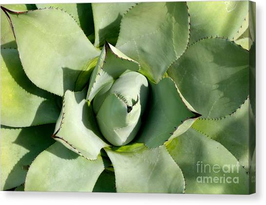 Blue Agave Canvas Print
