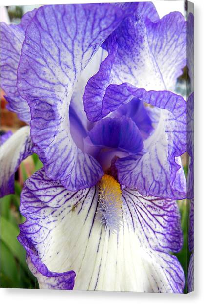 Blue And White Iris Closeup Canvas Print by Virginia Forbes