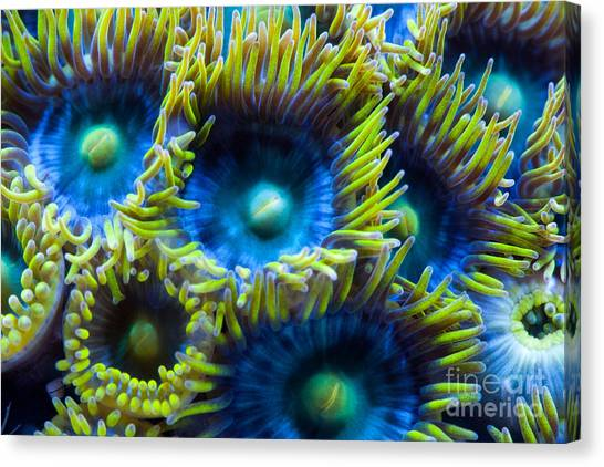Saltwater Life Canvas Print - Blue And Yellow Coral Polyps by Steve Ruddy