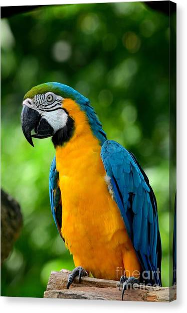 Blue And Yellow Gold Macaw Parrot Canvas Print