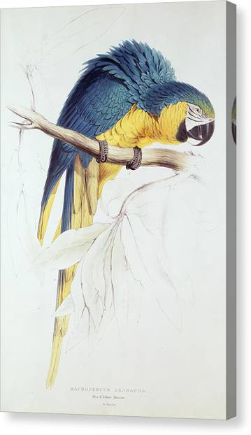 Macaws Canvas Print - Blue And Yellow Macaw by Edward Lear