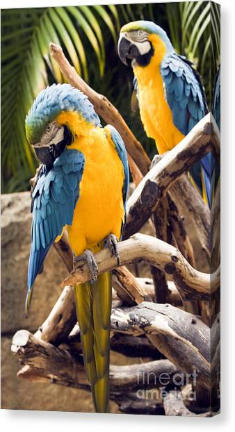 Blue And Yellow Macaw Pair Canvas Print