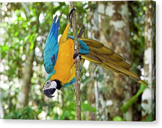 Macaw Canvas Print - Blue And Yellow Macaw by Tony Camacho/science Photo Library