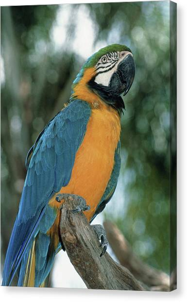 Macaw Canvas Print - Blue And Yellow Macaw by Tony Craddock/science Photo Library