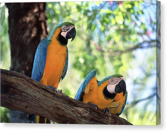 Macaw Canvas Print - Blue And Yellow Macaws by Tony Craddock/science Photo Library