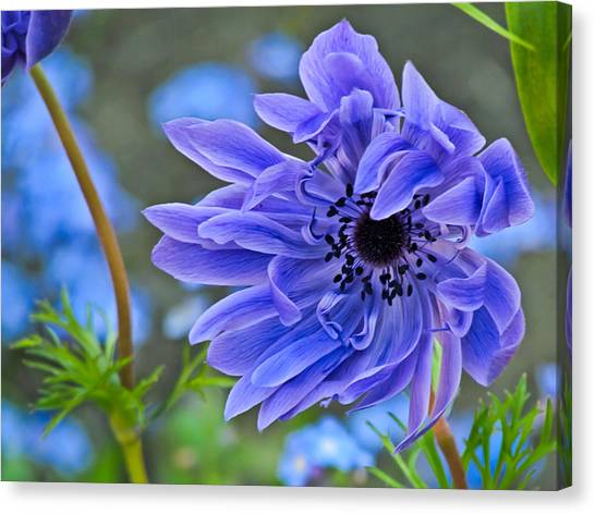 Blue Anemone Flower Blowing In The Wind Canvas Print