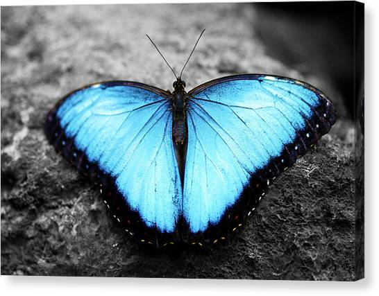 Blue Angel Butterfly 2 Canvas Print