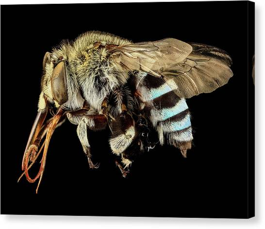 Pollinator Canvas Print - Blue Banded Bee by Us Geological Survey