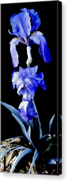 Blue Bearded Rhizomatous Irises Canvas Print