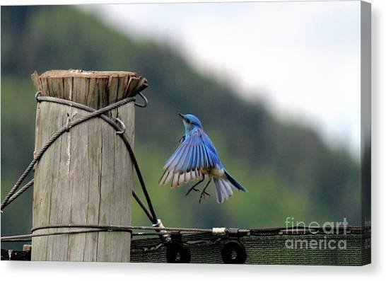 Canvas Print featuring the photograph Blue Bird by Ann E Robson