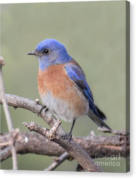 Blue Bird At Sedona Canvas Print