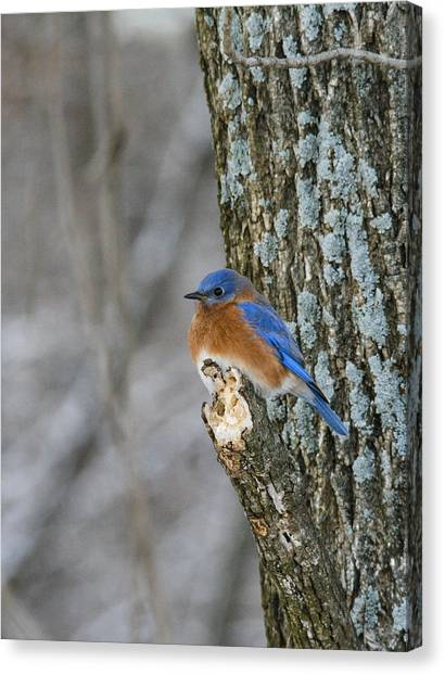 Blue Bird In Winter Canvas Print by Jill Bell