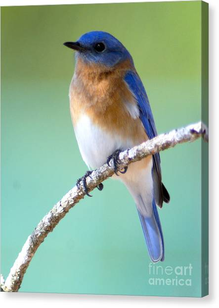 Blue Bird Portrait Canvas Print