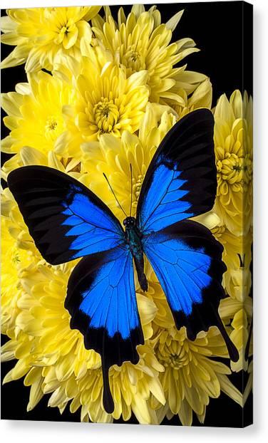 Pom-pom Canvas Print - Blue Butterfly On Poms by Garry Gay