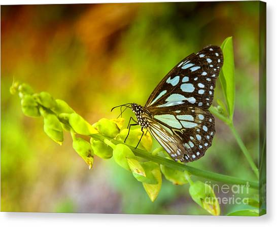 Blue Butterfly With Beautiful Colors Canvas Print by Gina Koch