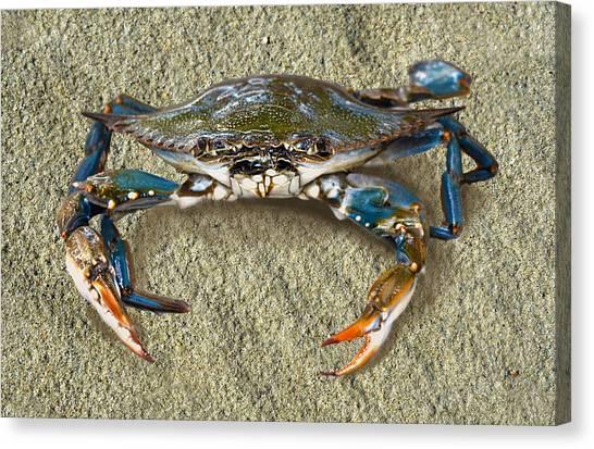 Blue Crab Confrontation Canvas Print