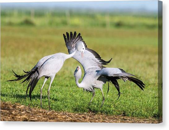 Blue Cranes Canvas Print by Peter Chadwick
