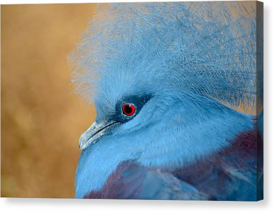 Blue Crowned Pigeon Canvas Print by T C Brown
