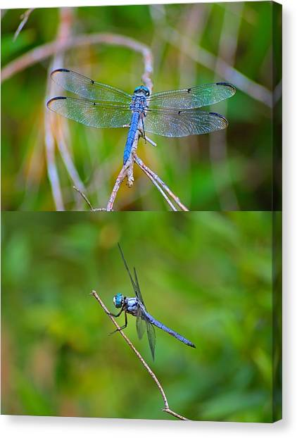 Blue Dragon Fly Canvas Print