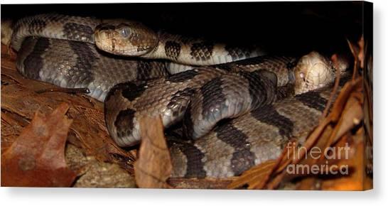 Timber Rattlesnakes Canvas Print - Blue Eyed Babies by Joshua Bales