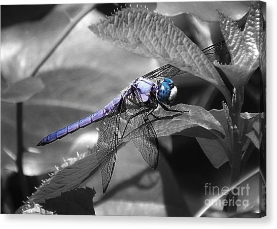 Blue Eyed Dragonfly Canvas Print