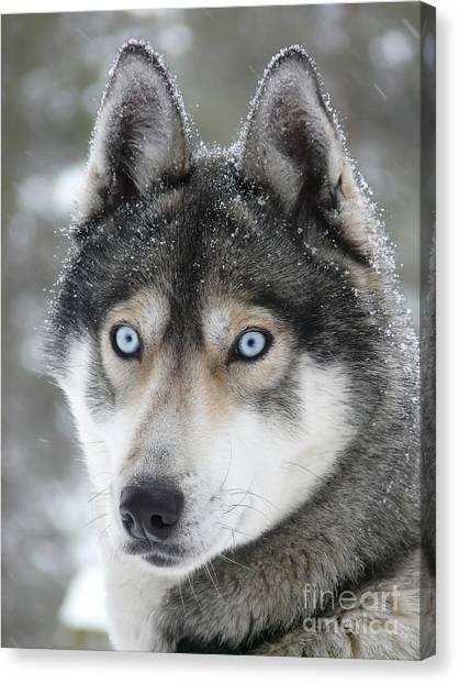 Blue Eyes Husky Dog Canvas Print