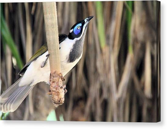 Blue Faced Honeyeater Canvas Print