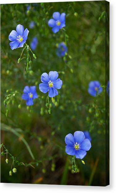 Blue Flax Canvas Print