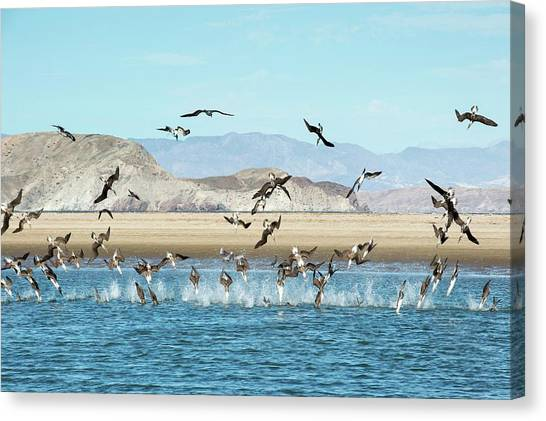 Boobies Canvas Print - Blue-footed Boobies Feeding by Christopher Swann