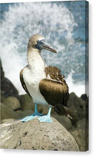 Boobies Canvas Print - Blue-footed Booby by Daniel Sambraus